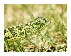 Hunter In The Grass... (Daniela 59) Tags: sliderssunday hss chameleon flapneckedchameleon camouflage textures workingwithtextures grass green danielaruppel