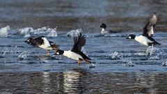 Common Goldeneye - Dec-22-2018 (4-1) (JPatR) Tags: 2018 commongoldeneye december foxrivervalley illinois kanecounty bird duck nature wildlife winter
