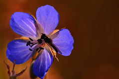 My Homeland (♥ ⊱ ╮Juergen ╭ ⊰ ♥) Tags: insect flower blue meadow wildlife untouched natural