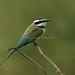 White-throated Bee-eater - Victoria Lake - Kenya CD5A9004