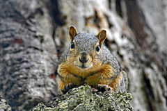 Eastern Fox Squirrel (Pacific Grove) (stinkenroboter) Tags: easternfoxsquirrel sciurusniger rodent pacificgrove elcarmelocemetery california