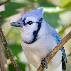 Bluejay posing (tresed47) Tags: 2018 201811nov 20181111chestercountybirds birds bluejay canon7dmkii chestercounty content fall folder home november pennsylvania peterscamera petersphotos places season takenby us ngc