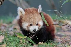 Juvenile Red Panda (K.Verhulst) Tags: redpanda kleinerodepanda rodepanda panda diergaardeblijdorp blijdorpzoo rotterdam bear