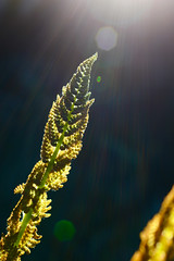 The Magical Fern (donjuanmon) Tags: donjuanmon macro closeup nature nikon fern sun rays bokeh hss