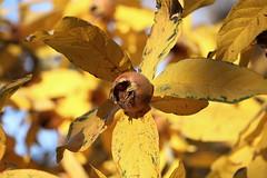 Mespilus germanica, Echte Mispel im Herbstlaub (julia_HalleFotoFan) Tags: echtemispel kernobstgewächse pyrinae mespilusgermanica mispel