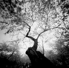 r01f02 (kccornell) Tags: cherry blossoms tidal basin washington dc ondu 6x6 pinhole film bw