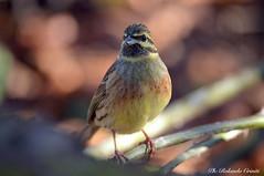 Zigolo nero _001 (Rolando CRINITI) Tags: uccelli uccello birds ornitologia avifauna castellettomerli natura zigolonero