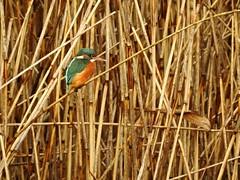 Kingfisher (LouisaHocking) Tags: kingfisher forestfarm southwales cardiff wild wildlife british nature bird uk