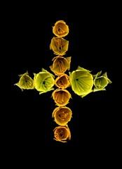 59316.01 Hemerocallis (horticultural art) Tags: horticulturalart hemerocallis buds cutbuds flowerbase cross bud lines