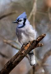 Blue Jay in a Breeze (ksblack99) Tags: bird bluejay cyanocittacristata