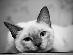 PC080841 (Vladimir V. Samoylov) Tags: 75mm animals bnw cat e5markii mzuiko75mmf18 m43 micro43 microfourthirdsmicro43 mono monochrome olympus olympusm75mmf18 omd μ43
