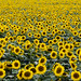 Sunflowers in a Wisconsin field. Original image from Carol M. Highsmith's America, Library of Congress collection. Digitally enhanced by rawpixel.