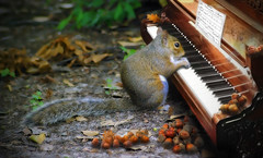 Brian_The Nutcracker Suite 1a LG FX_120918_2D (starg82343) Tags: 2d brianwallace digitalmanipulation photoart fineartphotography squirrel graysquirrel outdoors outside animal mammal piano musicalinstrument music thenutcrackersuite leaves ground funny amusing digitalartwork manipulation photoshop keyboard ivory critter cute furry keys