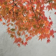 初冬の美しいモミジ (eyawlk60) Tags: maple leaf momiji color モミジ 紅葉