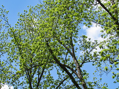 Branches With New Leaves. (dccradio) Tags: lumberton nc northcarolina robesoncounty outdoor outdoors outside northeastpark park citypark penningtonathleticcomplex drraymondbpenningtonathleticcomplex greenery spring springtime april morning saturday saturdaymorning goodmorning nature natural tree trees foliage leaf leaves branch branches treebranch treebranches treelimb treelimbs scenic beauty pretty beautiful bluesky sky canon powershot sx510hs bridgecamera