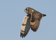 Short-eared Owl (asio flammeus) (Steve Ashton Wildlife Images) Tags: short eared owl shortearedowl shorteared asio flammeus asioflammeus bird prey birdofprey raptor