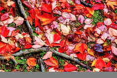All The Leaves Have Fallen (paweesit) Tags: autumnleaf autumn leaf leaves roots fall grass amber bright changing colorful red season seasonal