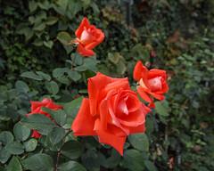 2018 Autumn rose (shinichiro*) Tags: 20181016sdim6067 2018 crazyshin sigmasdquattroh sdqh sigma1770mmf284dcmacrohsm october autumn yokohama 横浜イングリッシュガーデン rose flower macro 45050799315 4342249 201901gettyuploadesp