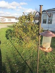A rare sunny day in November (creed_400) Tags: sunny november belmont west michigan autumn fall yard