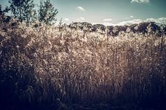 reeds (N.sino) Tags: m9 ultron35mmf17 reed showakinenpark winter 葦 葦原 昭和記念公園 空 雲 冬来たり