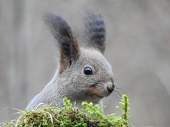 Red Squirrel (Sciurus vulgaris) (eerokiuru) Tags: redsquirrel sciurusvulgaris eichhörnchen orav animal p900 nikoncoolpixp900