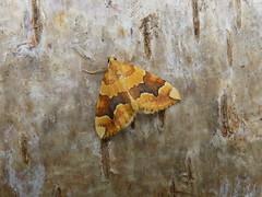 Barred Yellow - Cidaria fulvata (joedobinson) Tags: cidariafulvata barredyellow lepidoptera moth moths britishwildlife naturalworld nature northumberland