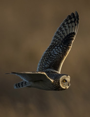 The Magical Nomad (Chris Bainbridge1) Tags: asio flammeus short eared owl in flight cambridgeshire