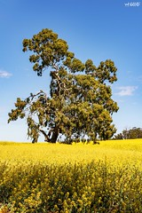 Star Of The Show (red stilletto) Tags: northeastvictoria dookie canola spring farm farms