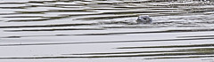 Seal (ianbartlett) Tags: outdoor mist murk wildlife nature birds seal bull water river pylons colour loght