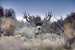 Unforgiven (Fly to Water) Tags: mule deer buck odocoileus hemionus outdoors big game trophy antlers nontypical non typical wild wildlife photography utah outside skyline sky sage brush dawn rut november nikon 600mm f4 fl