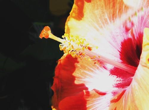 Toronto Ontario ~ Canada ~ Edwards Gardens ~ Botanical Garden ~  Hibiscus Rosa - Macro