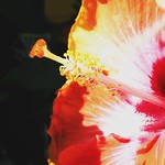 Toronto Ontario ~ Canada ~ Edwards Gardens ~ Botanical Garden ~  Hibiscus Rosa - Macro thumbnail