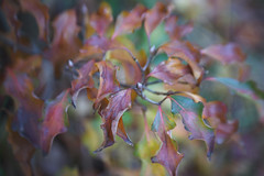 DSC09719 (Lens Lab) Tags: sony a7r achromat 100mm plants garden trees leaves branches dogwood