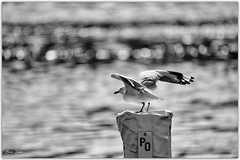 Seagull B&W (Bear Dale) Tags: ulladulla southcoast new south wales shoalhaven australia beardale lakeconjola fotoworx milton nsw nikond850 photography framed nikon nikkor afs 200500mm f56e ed vr bw blackwhite monocromo monochrome seagull seabirds estuary water bokeh