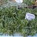 Wilder Rucola auf dem Markt in Rom