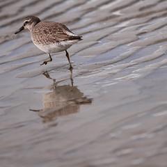 Birds #3 (David Baumgartner) Tags: oiseau bécasseau mer plage