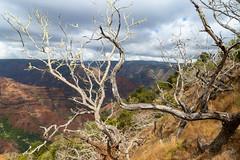 Dry wood in Waimea Canyon Park Kauai, Hawaii