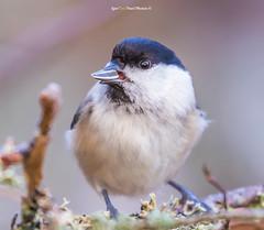 """Nokka-mööda söök - beak... !"" (Igor ""Ixa"" Nael) Tags: salutihane tihane poecilepalustris marshtit paruspalustris bird animal wild nature macrofoto macro canon"