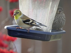 New bird at feeder (diffuse) Tags: bird backyard finch goldfinch americangoldfinch feeder