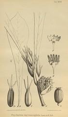 n657_w1150 (BioDivLibrary) Tags: botany melanesia papuanewguinea missouribotanicalgardenpeterhravenlibrary bhl:page=500586 dc:identifier=httpsbiodiversitylibraryorgpage500586 artist:name=gertrudbartusch