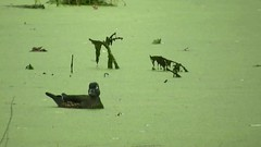 Wood Duck_3757.mp4 (Henryr10) Tags: eastforklake eastforkstatepark bethelohio littlemiamiriverbasin usa stevenewmantrailhead woodduck aixsponsa aix duck avian bird vogel ibon oiseau pasare fågel uccello tékklistar waterfowl wodu