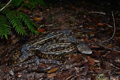 Scrub Python (Simalia kinghorni) (shaneblackfnq) Tags: scrub python simalia kinghorni shaneblack snake reptile mt mount lewis julatten fnq far north queensland australia tropics tropical rainforest ambush wet rain season