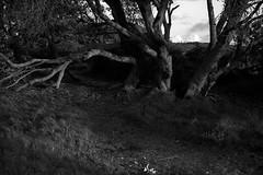 tree in coastal wetlands, Sydney  #106 (lynnb's snaps) Tags: 120film 6x9 bessaii tmaxdeveloper tmax100 bw film mediumformat 2018 ocean oceanscape clouds horizon nature landscape coast tree trees wetlands sunset light sydney australia rangefinderphotography blackandwhite bianconegro biancoenero blackwhite bianconero blancoynegro noiretblanc schwarzweis monochrome ishootfilm voigtlandercolorskopar105mmf35 voigtlanderbessaii6x9colorskopar105mmf35foldingrangefindercamera voigtlanderbessaiicolorskopar105mmf356x9foldingrangefindercamera
