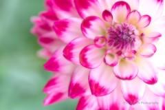 Pink and White Dahlia (_TAKATEN_) Tags: sony alpha a7rii a7rm2 sigma mc11 flower dahlia 150mm macro
