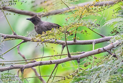 APALIS DI SHARPE (Ezio Donati is ) Tags: uccelli birds animali animals natura nature alberi trees westafrica costadavorio abidjan