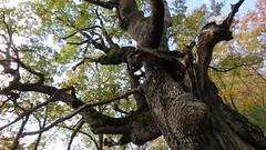 Centenaire (bernard.bonifassi) Tags: bb088 06 2018 novembre counteadenissa thiery eu arbre chêne centenaire