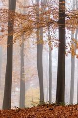 Promenade sylvestre (Inti Runa) Tags: canoneos7dmarkii canonef100400mmlis forêtdesoignes forest nature fantasticnature belgium autumn