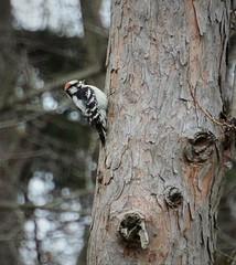 downy woodpecker (primpenny1) Tags: downywoodpecker wildlife bird