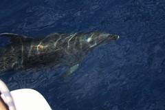 Bottlenose dolphins, Faial (MarBio Abbie) Tags: bottlenose bottlenosedolphin dolphin cetacean wildlife nature whalewatching azores faial islands ocean marine biology marinebiology rainbow