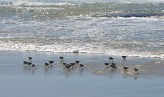 Skittering by the waves (afagen) Tags: california pacificgrove montereypeninsula asilomar beach pacificocean ocean asilomarstatemarinereserve bird
